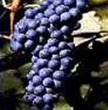 sangiovese, warm climate grapes